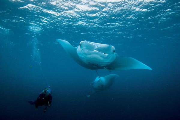 Scuba Dive with Manta Rays in Palau