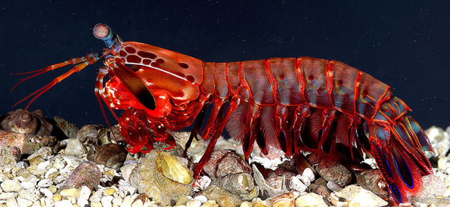 Underwater Creatures - Mantis Shrimp