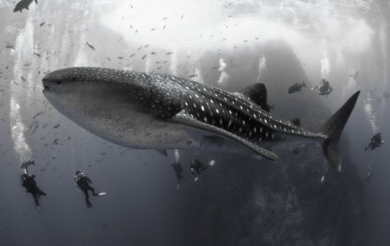 David Valencia Whale Shark photo - Winner of the 2014 PADI Diving Society photo contest