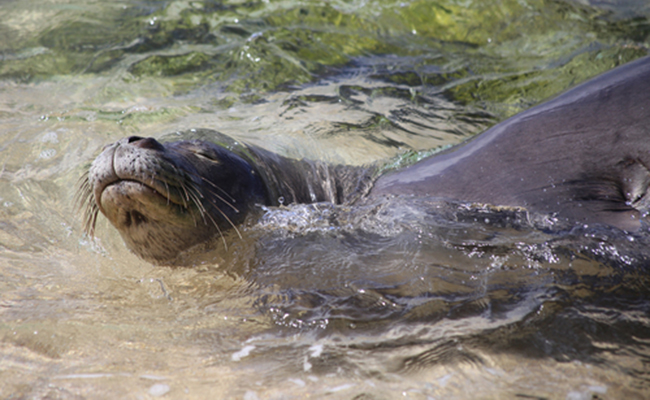 monk seals - endangered animals