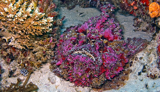 The Reef Stonefish: The Camo Killer.