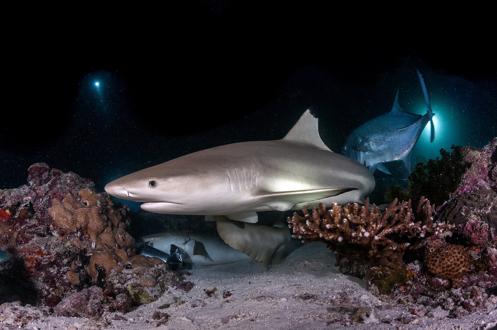 black-tip-reef-shark-maldives