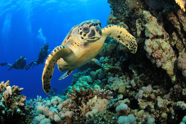 hawksbill turtle - endangered animal