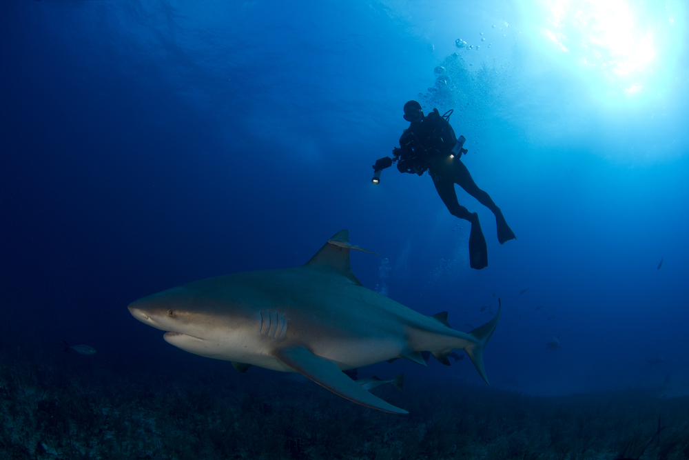 Facts About Sharks - Bull Shark