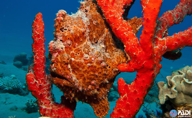 Marine Life in the Philippines - Frogfish
