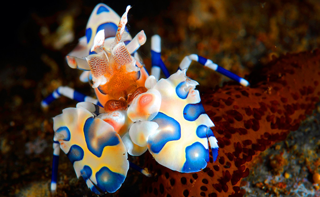 Marine Life in the Philippines - Harlequin Shrimp