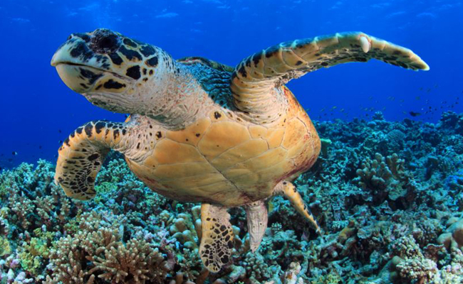 Marine Life in the Philippines - Sea Turtle