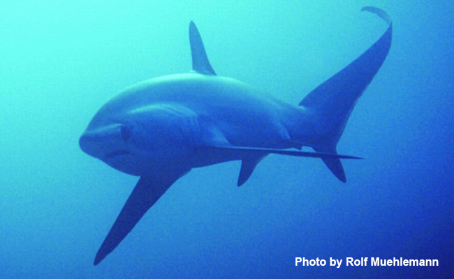 Marine Life in the Philippines - Thresher Shark