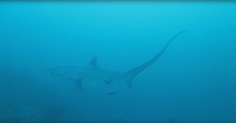 Scuba Diving Malapascua Island - Thresher Shark