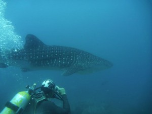 PADI Divemaster Harnold with Whale-Shark