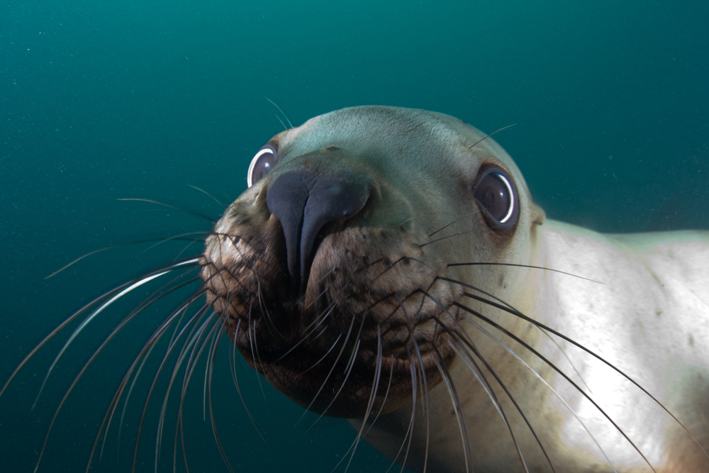 Sea Lion Close Up