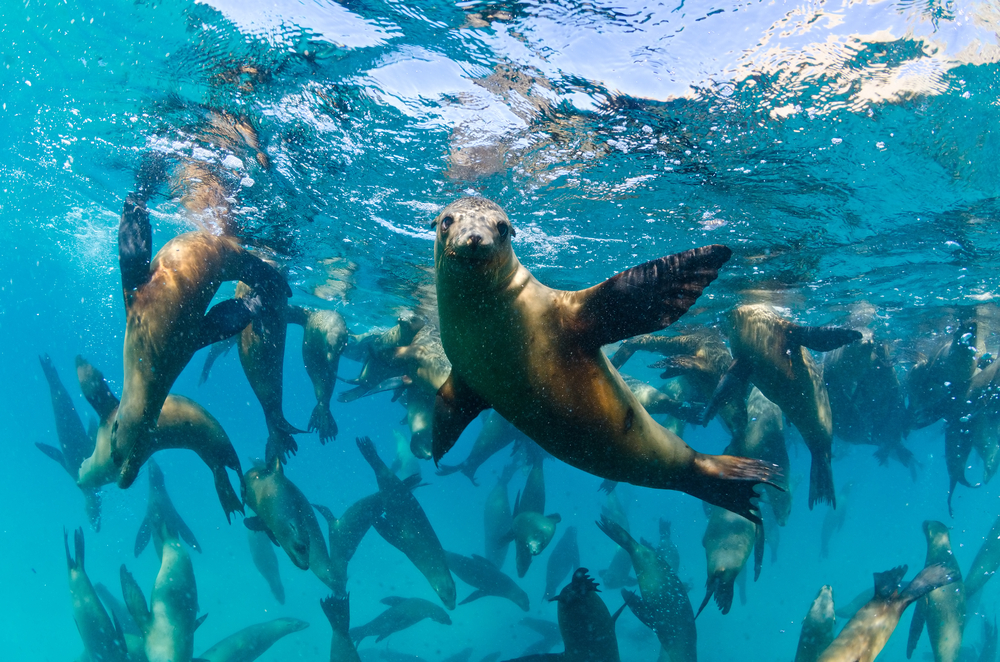 sea-lion-group