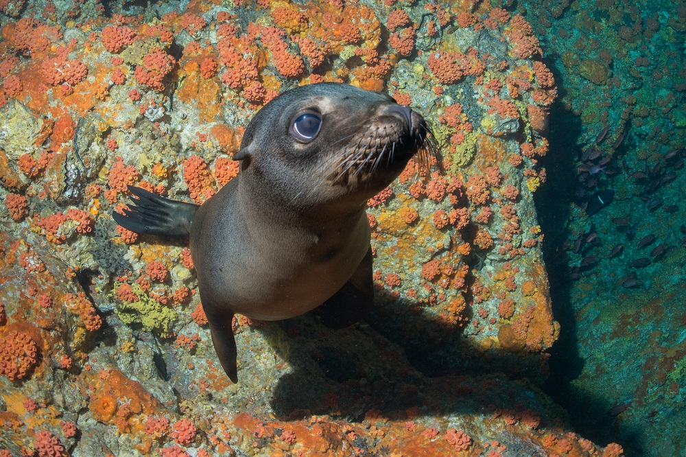 Sea Lion on Dive