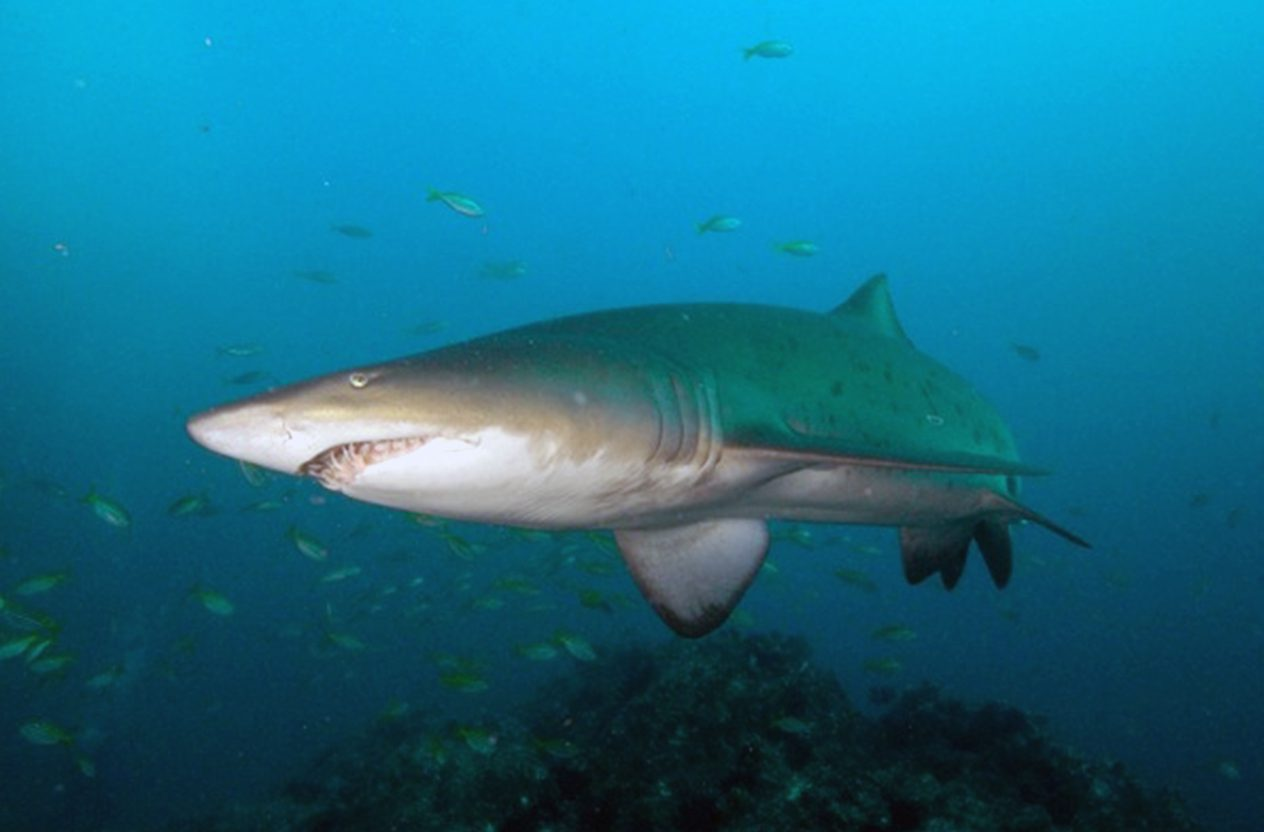cave dives - grey-nurse-shark2