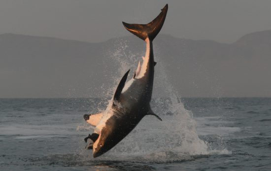Diving Olympics Great White