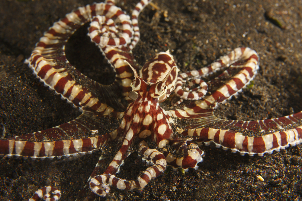 Diving Olympics Mimic Octopus