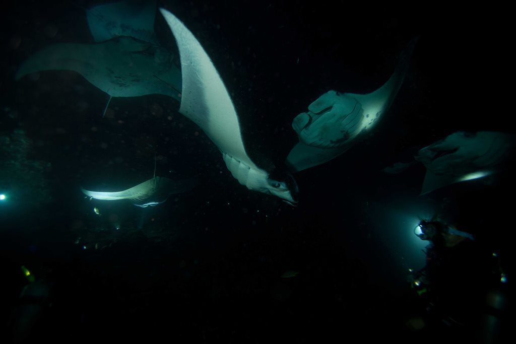 Group of manta rays