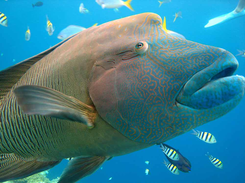 Wally the Wrasse - Great Barrier Reef