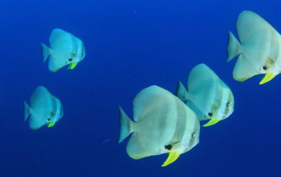 Batfish Header