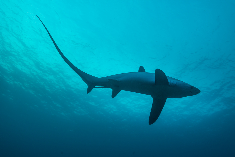 thresher shark - vulnerable animal