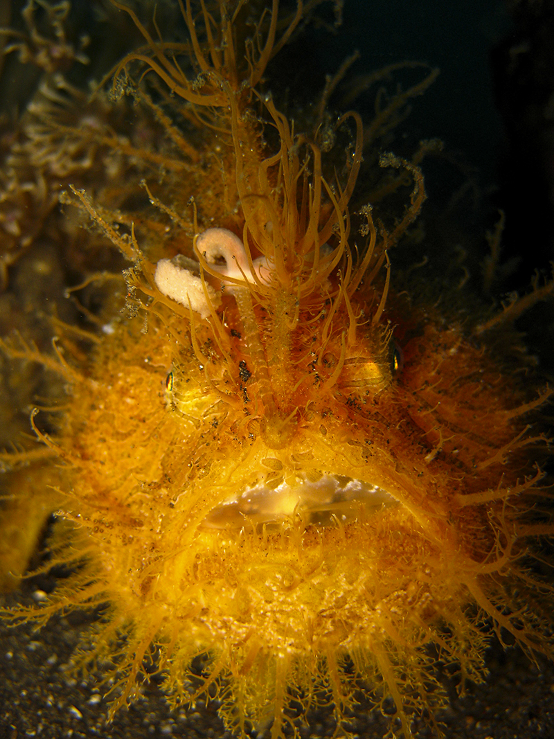 Macro Photography - Frogfish Hairy