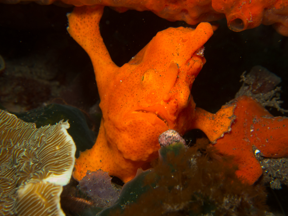 Macro Photography - Frogfish Painted