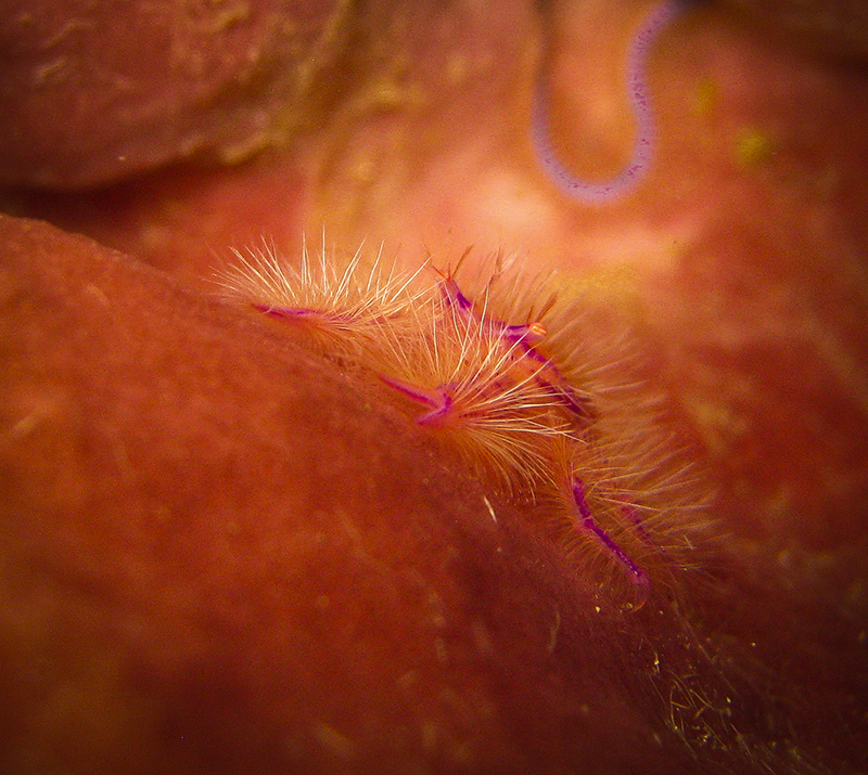 Macro Photography - Hairy Squat Lobster