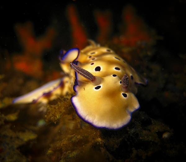 Macro Photography - Nudibranch Chromodoris