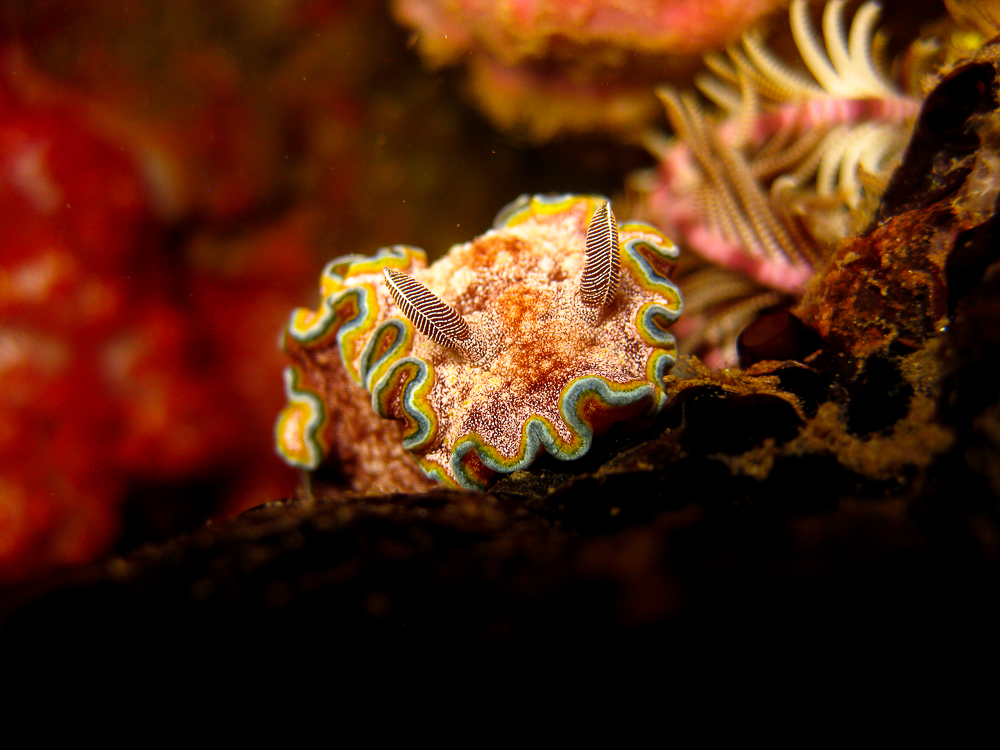 Macro Photography - Nudibranch - Girdled Glosodoris