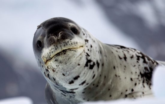 leopard-seal-ice
