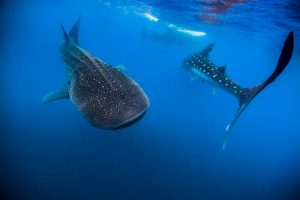 Jennifer Idol Whale Sharks in Isla Mujeres Mexico