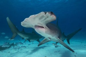 Great hammerhead sharks. The only view that really shows their hammers is from underneath. Bimini, Bahamas, 2016. Page 21