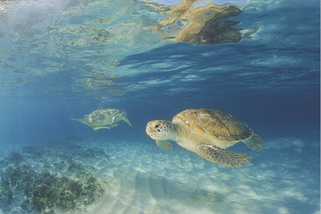 Green Turtles in Grand Cayman.