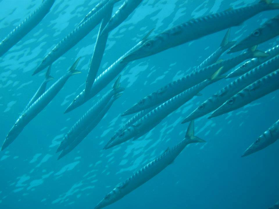 Barracuda at St Georges Island: My top five dives to date