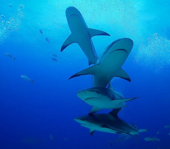 Four Caribbean Reef Sharks, Roatan