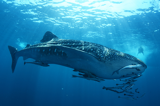 Ultimate Dive Sites in the Maldives Whale Shark