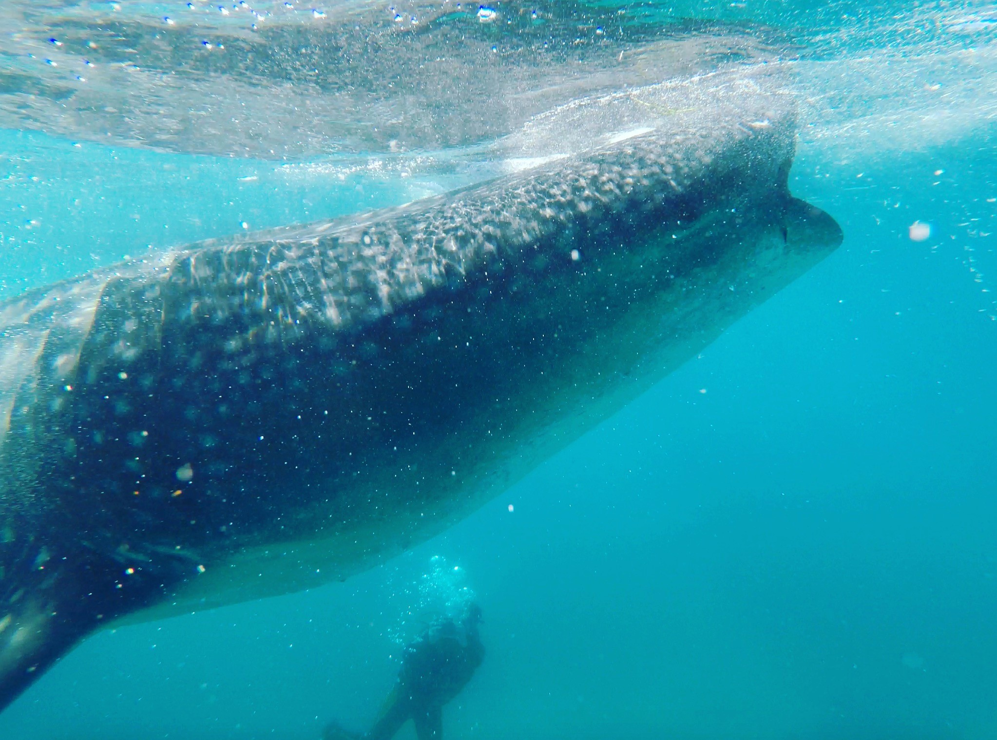 Whale shark - Film making with Daniel Oron