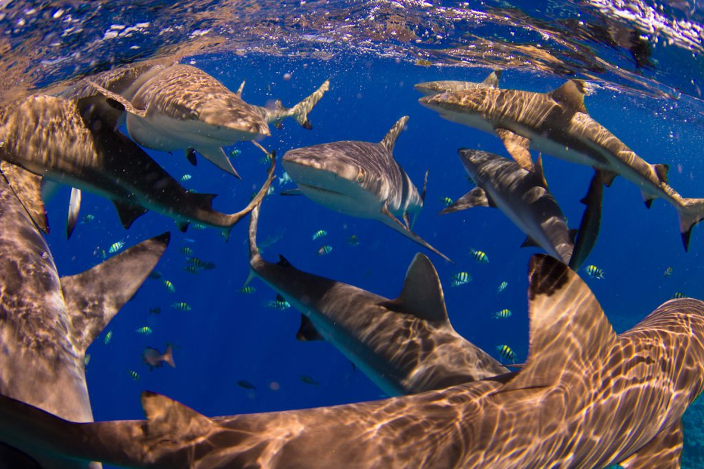 sharks in yap micronesia