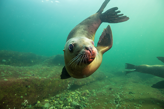 Cold Water Diving, Canda Seal