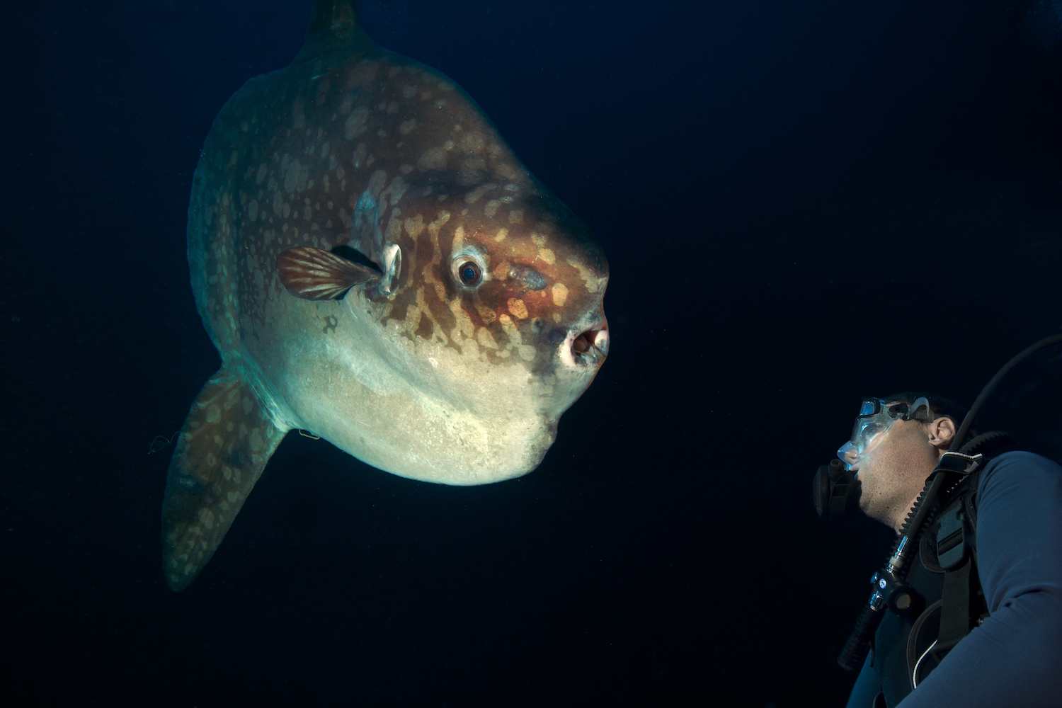 night diving with mola mola