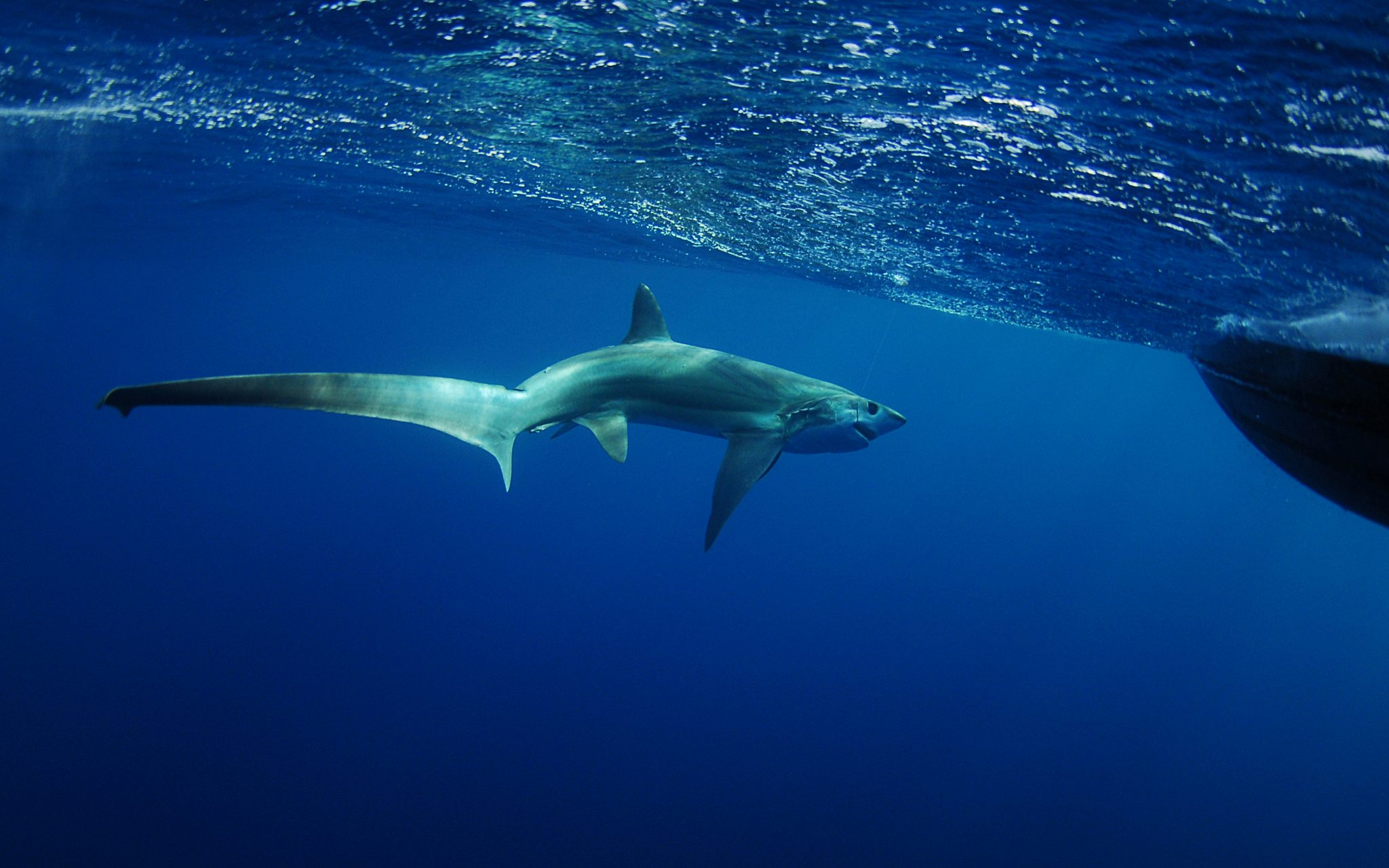 Thresher Shark - Philippines - Malapascua