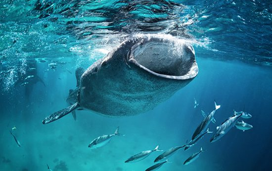 Diving bucket list, Whale shark
