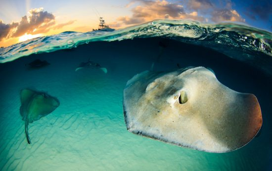 Stingray in Grand Cayman. Photo: Yen-Yi Lee