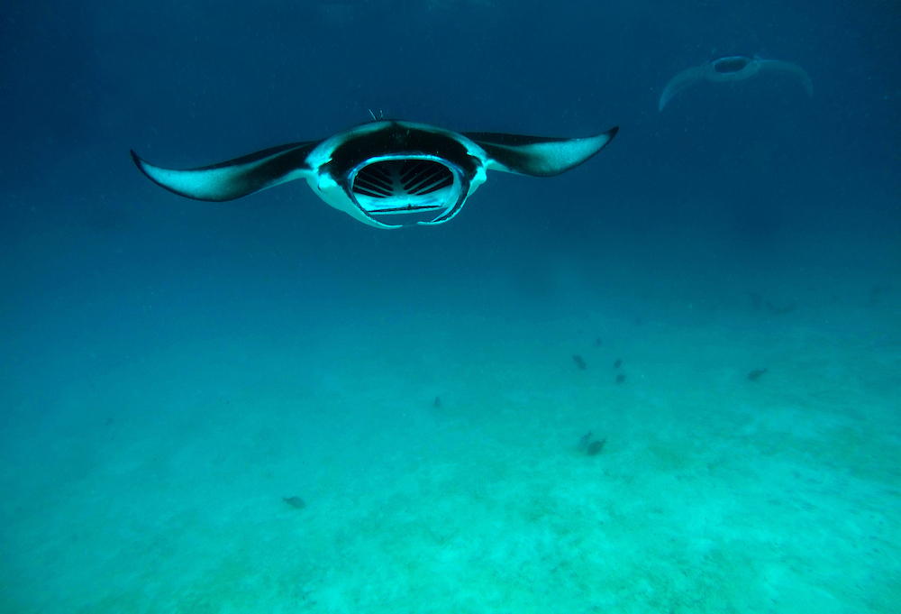 manta ray in the maldives
