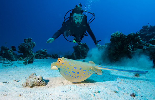 Blue spotted ray Red Sea