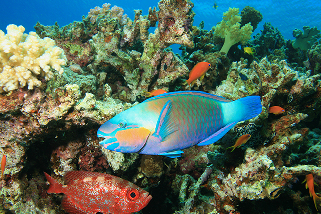 Bullethead parrotfish - Red Sea