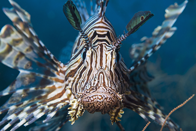 Lionfish live in the Red Sea