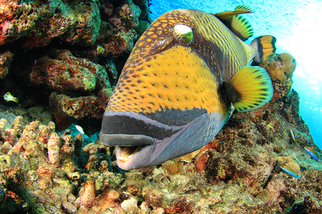 Titan triggerfish live in the Red Sea