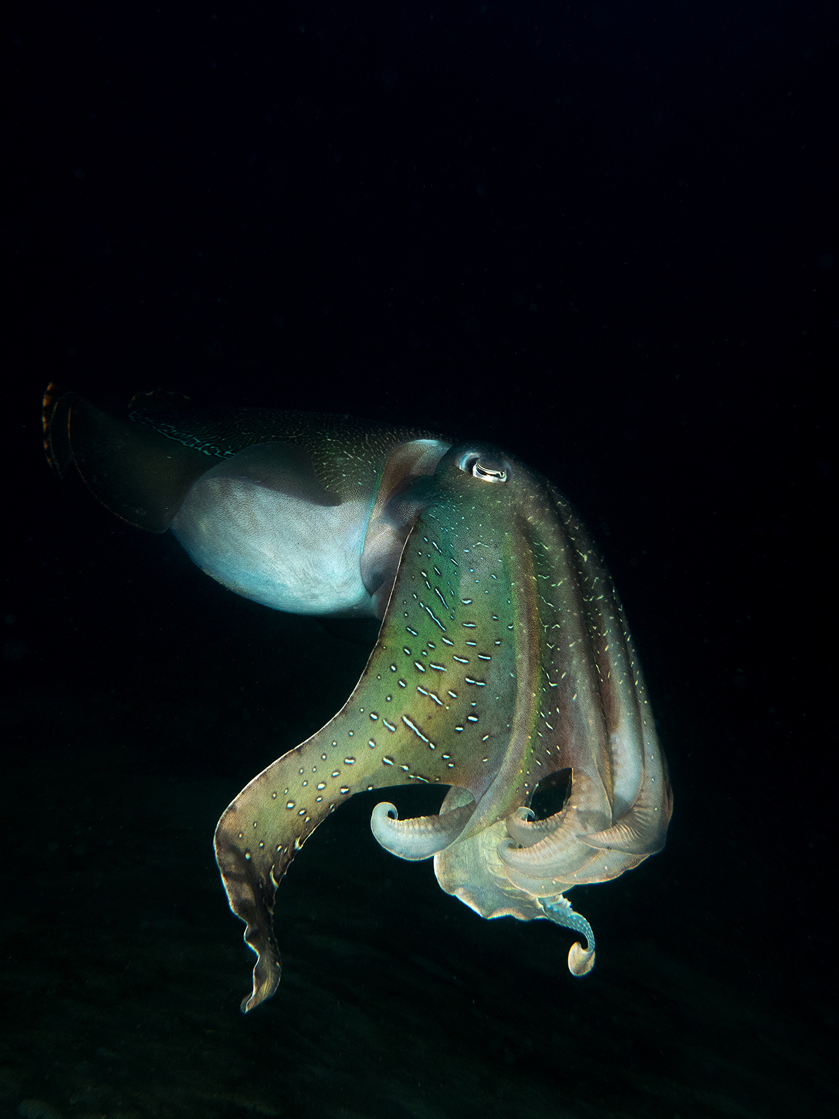 Cold Water Photography - Giant Cuttlefish