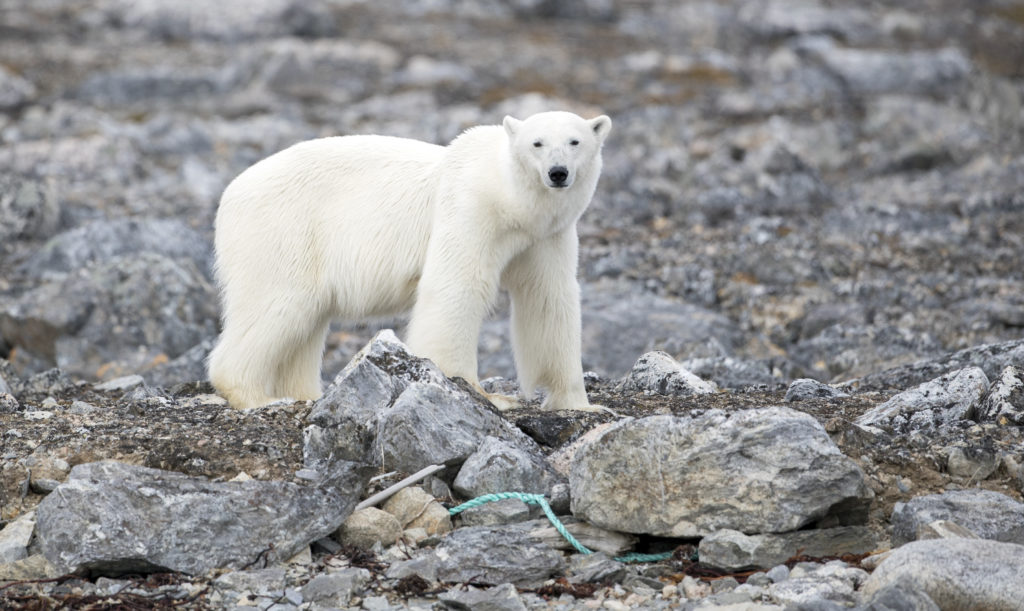 Polar Bear Spitsbergen Hope Spot - Photo By Kip Evans